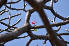 Piękno przed definitywnym parting & x28; Plumeria flower& x29; obraz royalty free