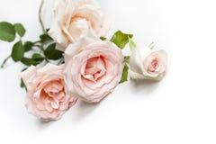 piękno róże Obraz Royalty Free
