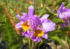 Piękno różowa orchidea Zdjęcia Royalty Free
