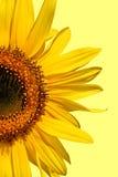 piękno słonecznik Obrazy Stock