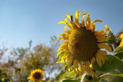 Piękno słonecznik w ogródzie Obrazy Stock
