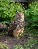 Piękno sowy obsiadanie w lesie Obraz Royalty Free
