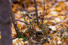 Piękno w naturze - czarne jagody z liśćmi w jesieni w lesie obraz royalty free
