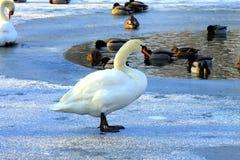 Piękny łabędź na lodzie w zimie, Zdjęcie Royalty Free