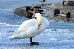 Piękny łabędź na lodzie w zimie, Obraz Royalty Free
