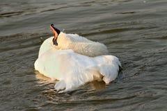 Piękny łabędź przy zmierzchem Zdjęcia Royalty Free