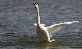 Piękny łabędź rozprzestrzenia swój skrzydła Zdjęcia Stock
