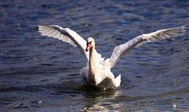 Piękny łabędź rozprzestrzenia swój skrzydła Zdjęcie Royalty Free