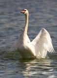 Piękny łabędź rozprzestrzenia swój skrzydła Zdjęcie Stock