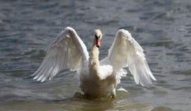 Piękny łabędź rozprzestrzenia swój skrzydła Fotografia Royalty Free