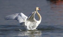 Piękny łabędź rozprzestrzenia swój skrzydła Obraz Stock