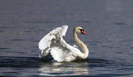 Piękny łabędź rozprzestrzenia swój skrzydła Zdjęcia Royalty Free
