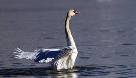 Piękny łabędź rozprzestrzenia swój skrzydła Obrazy Royalty Free