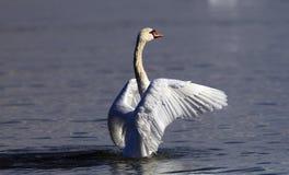 Piękny łabędź rozprzestrzenia swój skrzydła Obrazy Stock