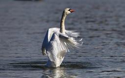 Piękny łabędź rozprzestrzenia swój skrzydła Fotografia Stock