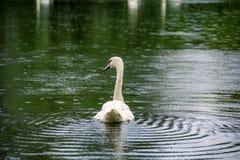 Piękny łabędzi pływanie w deszczu Obraz Royalty Free