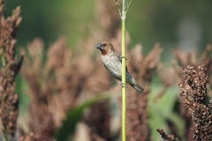 Piękny łaciasty munia ptak na uprawie Obrazy Stock