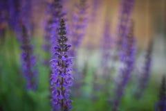 Piękny Łubinowy Purpurowy kwiatu ogród obrazy stock