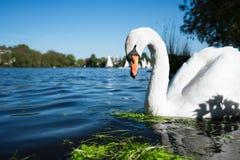 Piękny śliczny biały graci łabędź na Alster jeziorze na słonecznym dniu Białe przyjemność żagla łodzie przechodzi w tle Obraz Royalty Free