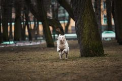 Piękny, śliczny i milutki golden retriever psa bieg w parku na chmurnym zima dniu, Obraz Royalty Free