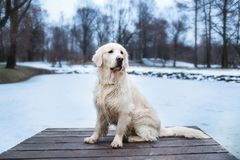 Piękny, śliczny i milutki golden retriever psa obsiadanie w molu w parku, trzciny chmurnego dzień lasowa jeziora śniegu zima Zdjęcie Royalty Free