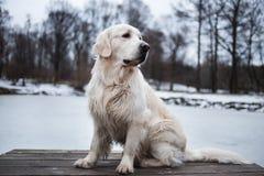Piękny, śliczny i milutki golden retriever psa obsiadanie w molu w parku, trzciny chmurnego dzień lasowa jeziora śniegu zima Zdjęcie Stock