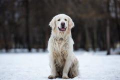 Piękny, śliczny i milutki golden retriever psa obsiadanie w parku na chmurnym zima dniu, Obraz Royalty Free