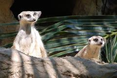 piękny śliczny meerkat Zdjęcia Stock
