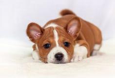 Piękny, śliczny szczeniaków psów trakenu szczekliwy psi basenji, Zdjęcia Stock