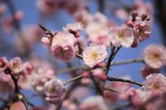 Piękny śliwkowy kwiat zdjęcia royalty free