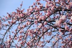 Piękny śliwkowy kwiatu kwiat fotografia stock