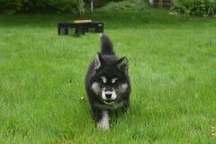Piękny Śmiały Dwa miesięcy Alusky szczeniaka Stary pies Zdjęcie Royalty Free