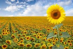 piękny śródpolny słonecznik obraz stock