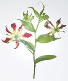 Piękny światło Kwitnie Osteospermum - kwiat - purpurowa stokrotka - Obrazy Stock