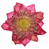 Piękny światło Kwitnie Osteospermum - kwiat - purpurowa stokrotka - Zdjęcie Royalty Free