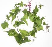 Piękny światło Kwitnie Osteospermum - kwiat - purpurowa stokrotka - Obrazy Royalty Free