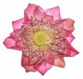 Piękny światło Kwitnie Osteospermum - kwiat - purpurowa stokrotka - Obraz Stock