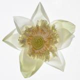 Piękny światło Kwitnie Osteospermum - kwiat - purpurowa stokrotka - Fotografia Royalty Free