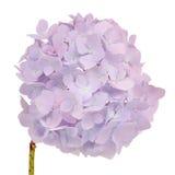 Piękny światło - purpurowa hortensja Kwitnie na Białym tle Fotografia Royalty Free