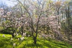 Piękny światło - różowy magnoliowy kwiatonośny drzewo w zalesionym terenie Zdjęcie Royalty Free