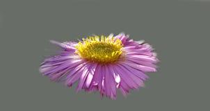 Piękny świeży jesieni menchii kwiat Obraz Royalty Free