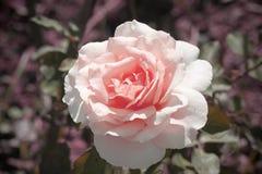 Piękny świeży menchii róży rocznika styl Zdjęcie Royalty Free