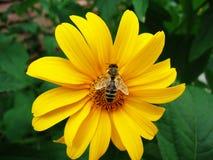 Piękny świeży naturalny fragrant żółty stokrotka kwiat z pszczołą w ogrodowym lecie fotografia royalty free
