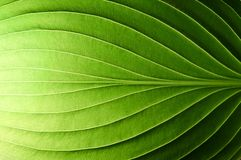 Piękny świeży zielony liść podkreślający słońcem zdjęcie stock