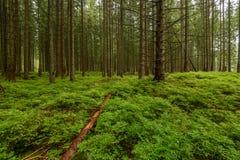 piękny świerkowy drzewny las w lecie Obraz Royalty Free
