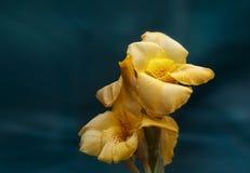 Piękny żółtego irysa zakończenie Zdjęcie Stock