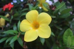 Piękny żółty Allamanda cathartica Złoty tubowy kwiat zdjęcia royalty free