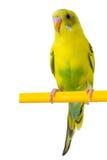 Piękny żółty budgie Fotografia Royalty Free