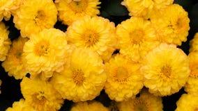 Piękny żółty chryzantema kwiat Obrazy Royalty Free