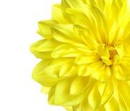 Piękny żółty dalia kwiat na białym tle zdjęcia stock
